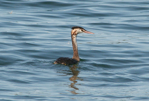 Great-crested Grebe Podiceps cristatus Tophill Low NR, East Yorkshire August 2014