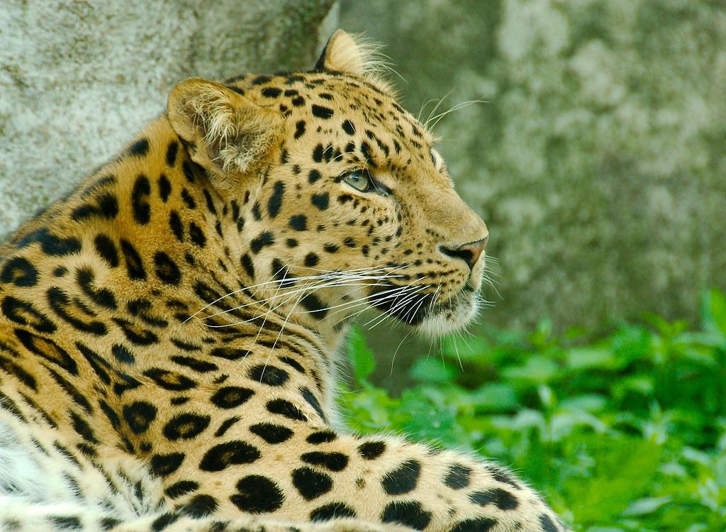 Amur Leopard_1