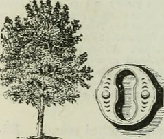 "Image from page 375 of ""The trees of America: native and foreign, pictorially and botanically delineated, and scientifically and popularly described...illustrated by numerous engravings"" (1851)"