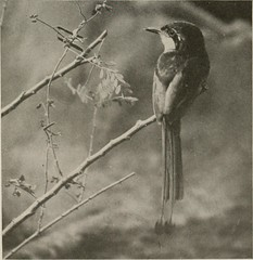 """Image from page 66 of """"The book of birds; common birds of town and country and American game birds"""" (1921)"""