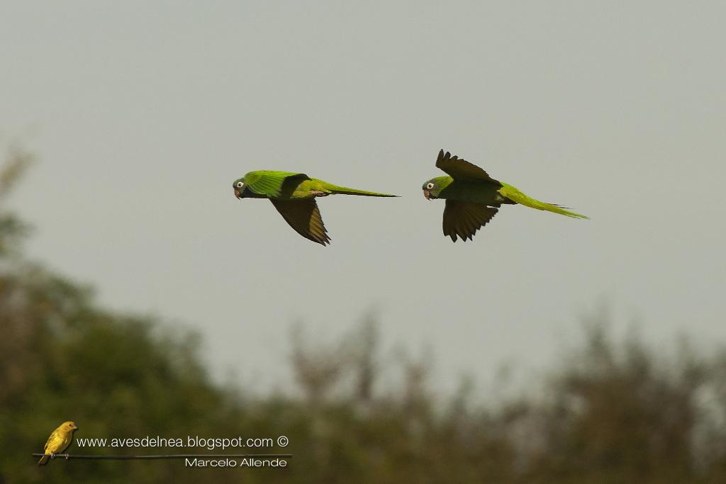 Calancate común (Blue-crowned Parakeet) Thectocercus acuticaudatus