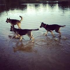 Even more  park shenanigans. #shepsky #husky #gsd #germanshepherddog #dogpark #shenanigans #puppy #bowwowbeach
