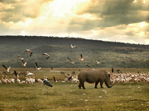 pelican safari rhino kenia nakuru uploaded:by=flickrmobile flickriosapp:filter=nofilter