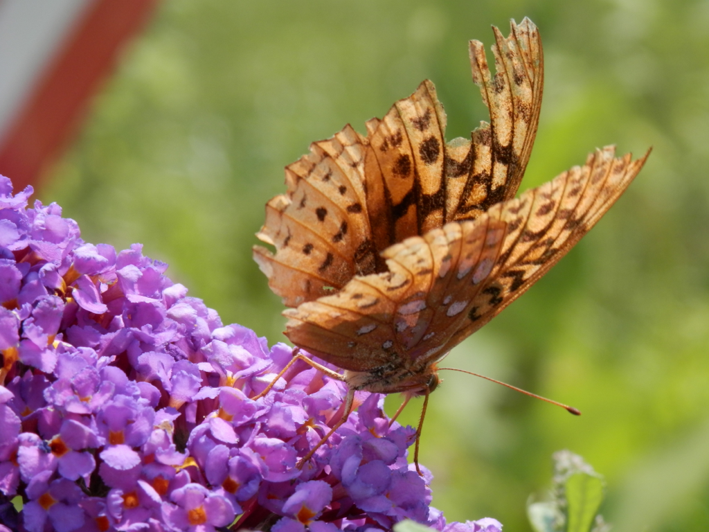 Silver-bordered Fritilary