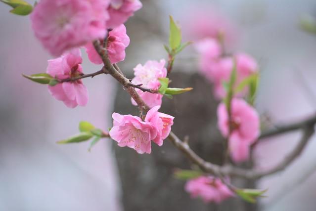 plum blossom 6