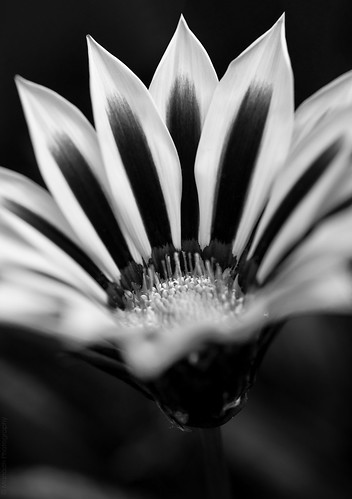 Chrysanthemum in monochrome // 28 08 14