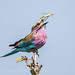 Lilac-breasted Roller with prey by Willievs