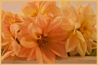 Peachy Dahlias