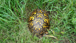 Box Turtle we saw crossing the road