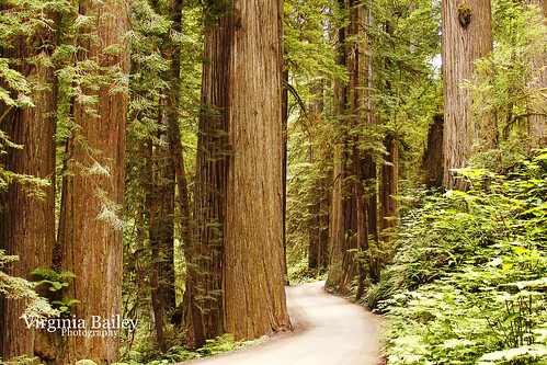 california road ca trees summer usa america canon july giants dirtroad redwoods stoutgrove redwoodsnationalpark canon50d howlandhillroad jedidiahsmithstatepark virginiabaileyphotography