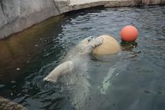 Eisbär Vitus im Zoo Karlsruhe