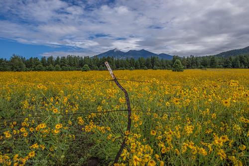 flowers flagstaff mountainscape humphreyspeak arizonahighways flagstaffmountainsflowersdreamypatina