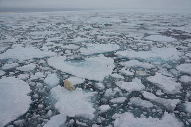 Polar bear travelling on sea ice