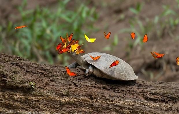 Mariposas que beben lágrimas de tortuga.