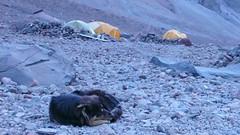 Jeden z piesków mieszkajacy przy stacji meteo (Bethlemi Hut) 3680m.