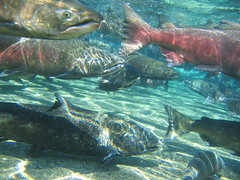 Fall Chinook are one of the five species of salmon in the water system impacted by the Wanapum Dam