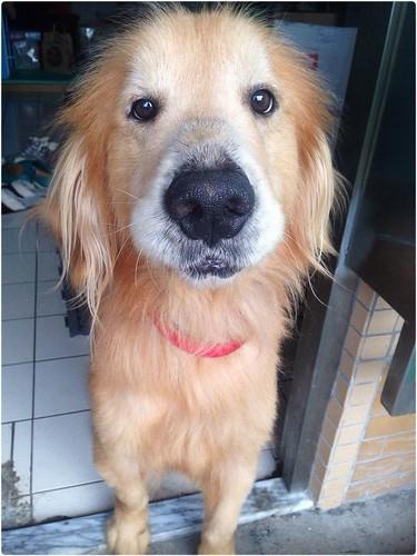 「認養」台北6歲黃金獵犬宅男~誠徵會照顧他一輩子的新家~謝謝您!20140828
