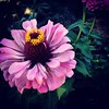 Beautiful pink zinnia #flower.