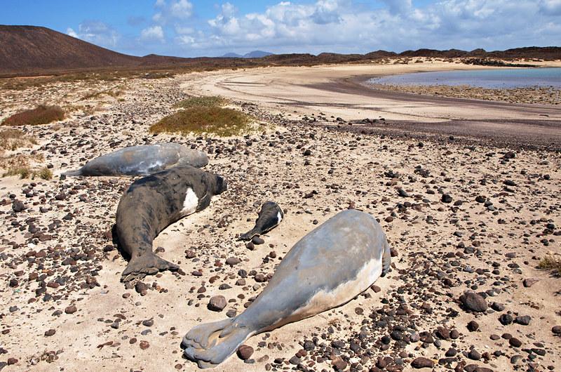 Monk seals, Isla de Lobos, Fuerteventura