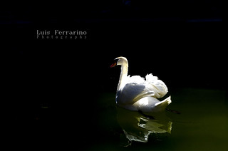 The Swan and the Light