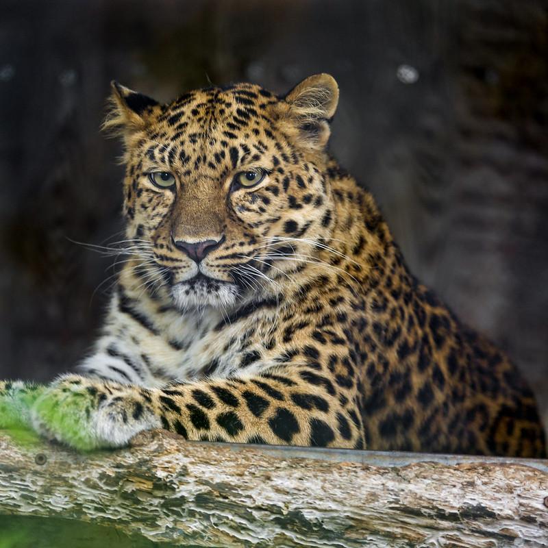 Posing Amur leopard