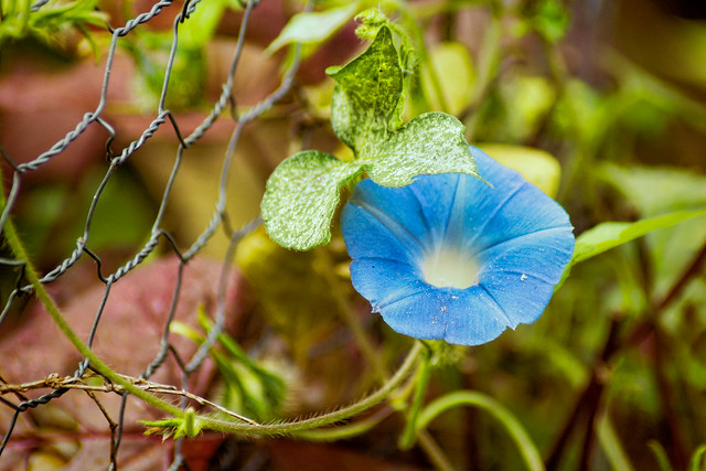 Morning Glory, Macro, Blue, Flower, Wildflower, Fence
