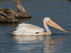 P2410348.jpg P2410219.jpg  American White Pelican (Pelecanus erythrorhynchos)