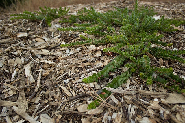 Small plant among wood chips flickr photo sharing