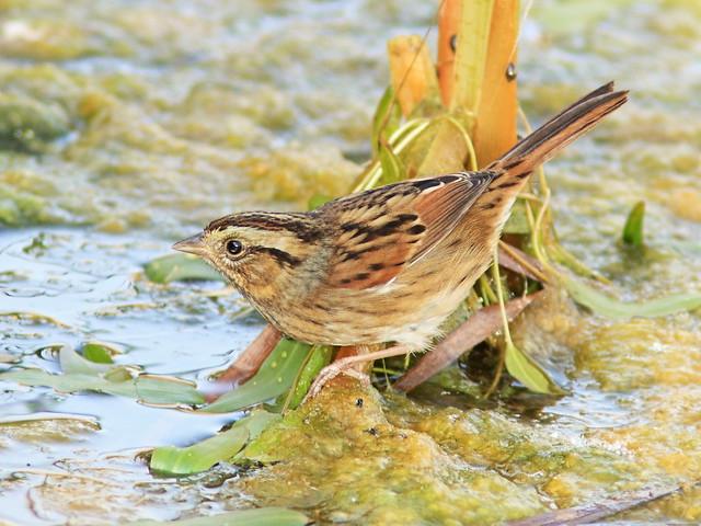 Swamp Sparrow 09-20140929