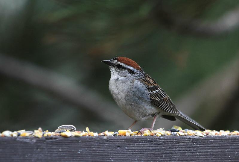 sparrow cutie