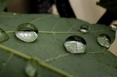 Water drops on maple leaves