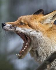 Fox widely yawning