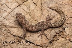 Marbled gecko (Christinus marmoratus (synonym: Phyllodactylus marmoratus))
