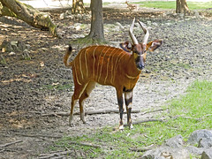 Memphis Zoo 08-31-2016 - Bongo 12