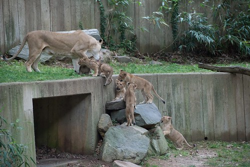 African Lion Cubs Debut June 13