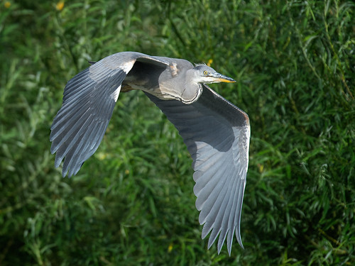 Grey Heron evening light