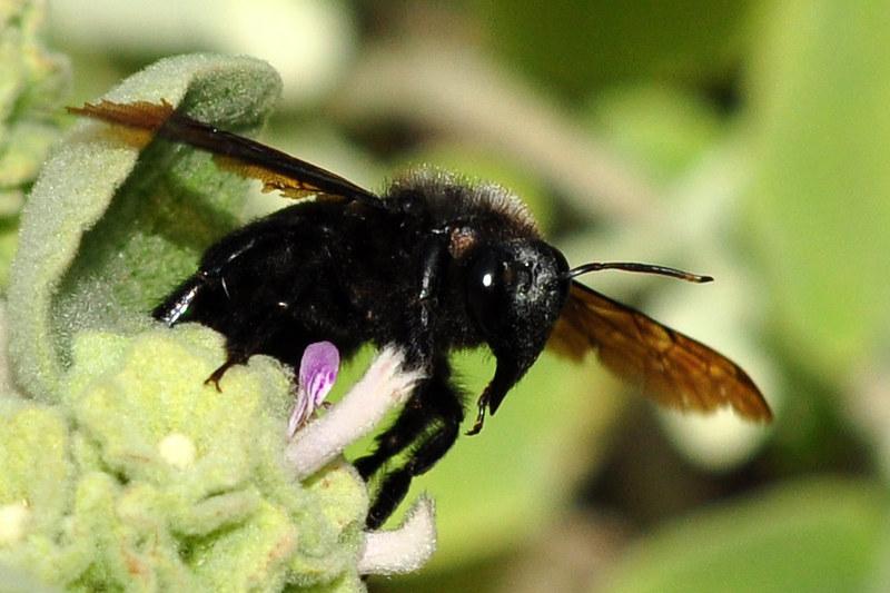Holzbiene Xylocopa die Holzschneidende schwarz Biene Bienen Apis Naturfotografie Brigitte Stolle