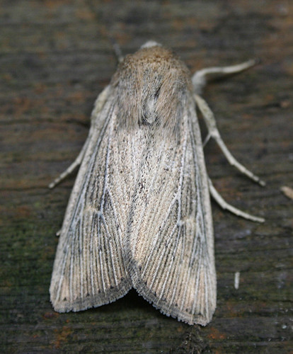 Obscure Wainscot Mythimna obsoleta Tophill Low NR, East Yorkshire June 2014