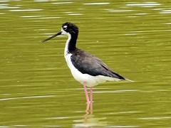 animal, wing, fauna, stilt, shorebird, beak, bird, wildlife,