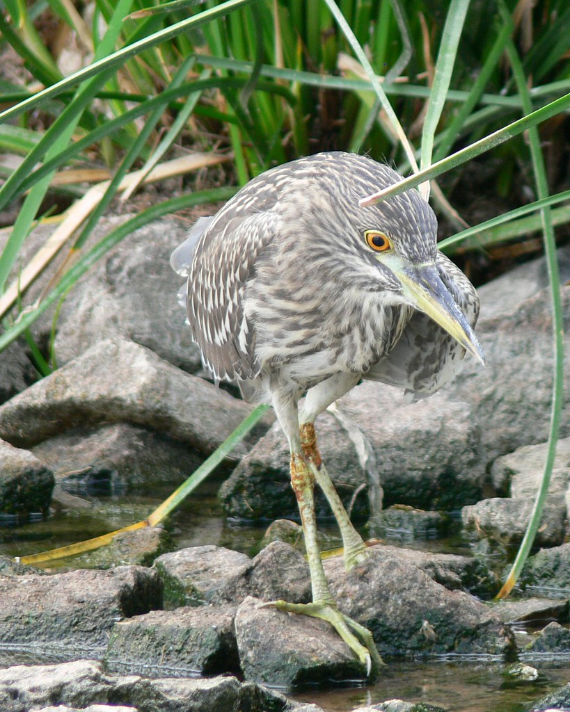 Black-crowned Night-Heron (Nycticorax nycticorax) Juvenile