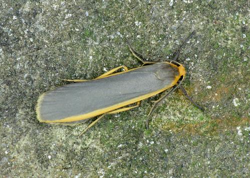 2050 Common Footman - Eilema lurideola