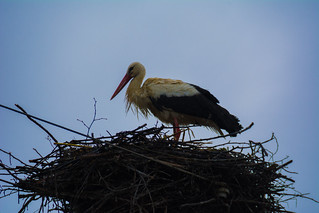 Birds of Romania
