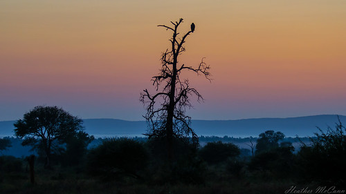 africa park morning sky tree bird silhouette sunrise southafrica dawn colours view scenic ciel national cielo vista vulture oiseau snag kruger