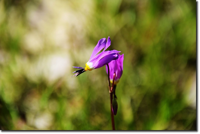 Shooting Star flower 1