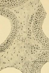 """Image from page 42 of """"Die männlichen Geschlechtsorgane"""" (1904)"""