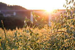 Sun touches the oat field