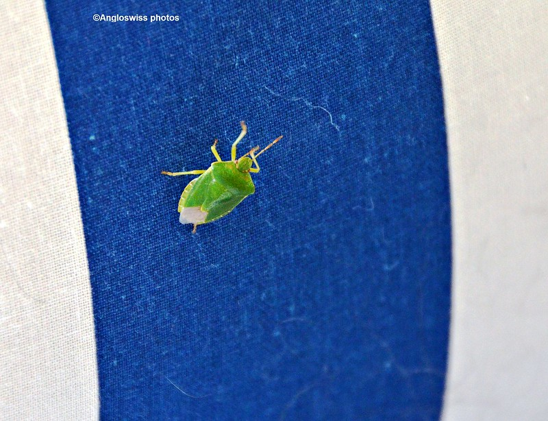 Green Shield-Stink Bug