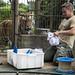 Amur tiger watches the making of t-shirt enrichments by Korkeasaaren eläintarha
