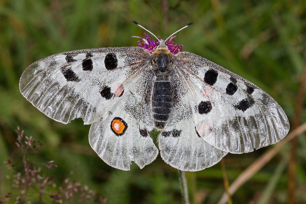 Parnassius apollo ♀