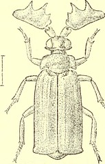 """Image from page 489 of """"Coleoptera : general introduction and Cicindelidae and Paussidae"""" (1912)"""